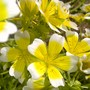 Poached_egg_plant_limnanthes_douglasii_