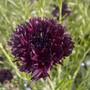 Cornflower_black_ball_centaurea_cyanus_