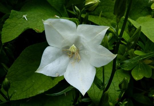 Campanula persicifolia 'Takion White' (Campanula persicifolia 'Takion White')