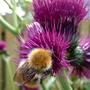 My favourite Bee.....I call him Irn Bru!