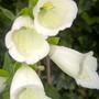 Foxglove 'Alba' (White) (Digitalis purpurea f. albiflora)