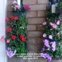 Busy Lizzies Dezire Select Mixed in wall pouches on balcony 26-06-2013