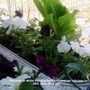 Petunias in white troughs with Lettuce on balcony 26-06-2013 003