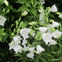 Campanula persicifolia (Peach-leaved bellflower)