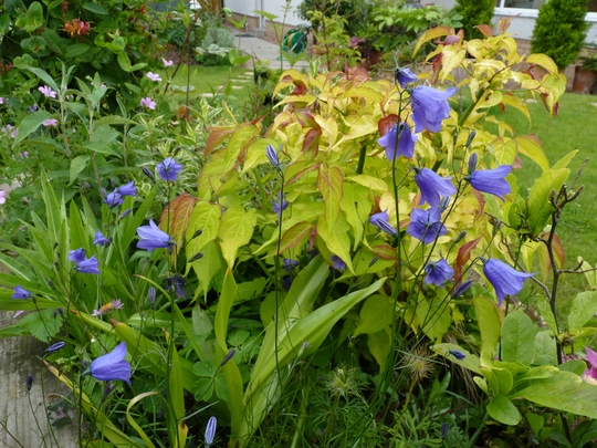Harebells in front of Leycesteria 'Golden Lanterns' (Campanula rotundifolia)