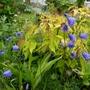 Harebells in front of Leycesteria 'Golden Lanterns' (Campanula rotundifolia)
