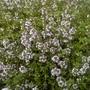 IMG 20130626 00181 (Thymus vulgaris (Garden thyme))