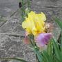 Iris Germanica Tumultueux (Iris)