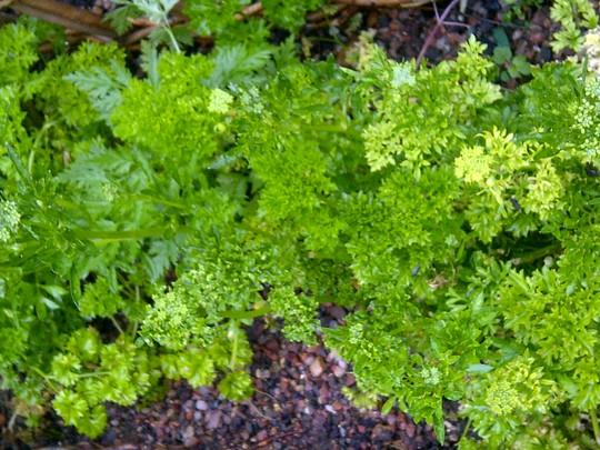 Parsley Curled  (Petroselinum crispum (Parsley))