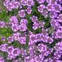 Thyme Creeping  (Thymus praecox (Creeping Thyme))