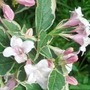 Weigela June'13 (Weigela florida variegata)
