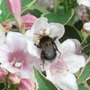 Weigela Bee Visitor June'13 (Weigela florida variegata)