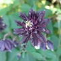 Aquilegia 'Black Barlow' Close Up June'13 (Aquilegia)