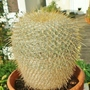 Mammillaria celsiana