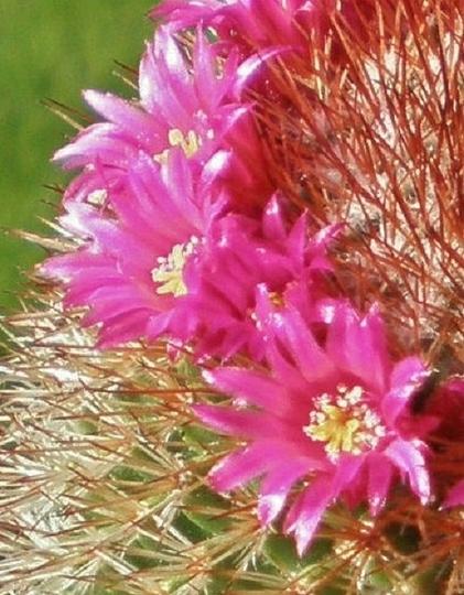 Mammillaria cylindrica