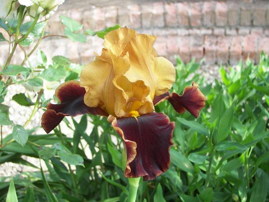 Iris Summers Smile (Iris germanica (Orris))