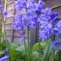 Hybrid Bluebell Hyacinthoides x massartiana  (Hyacinthoides x massartiana)