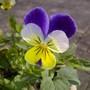 Viola Johnny Jump Up Viola tricolor  (Viola tricolor (Heartsease))