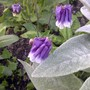Columbine (Aquilegia vulgaris (Columbine))