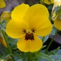 Pansy Yellow blotched (Viola tricolor subsp. hortensis)