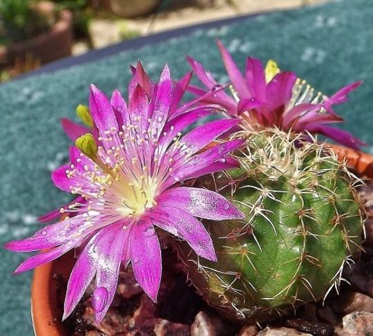 Echinocereus pulchellus - flowers more open now