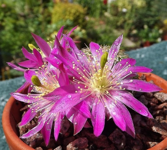Echinocereus pulchellus - flowers more open now