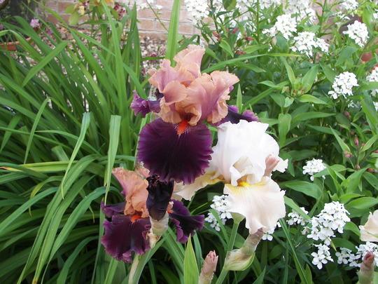 Iris Germ. Naples (Iris germanica (Orris))