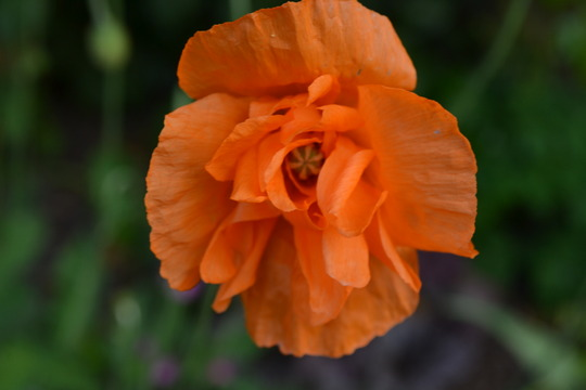 Meconopsis Cambrica (Meconopsis cambrica (Double Welsh Poppy))