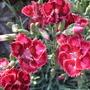 Dianthus_raspberry_sundae_