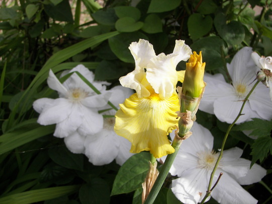 Iris Germ. Perfect Interlude (Iris germanica (Orris))