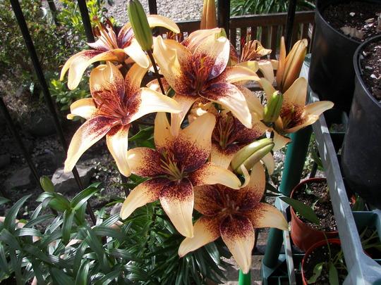 """Lily """"Zulu"""" (Asiatic Lilium)"""