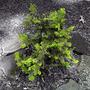 Chamaecyparis obtusa (Hinoki Cypress)