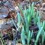 Snowdrops Emerging Jan'13 (Galanthus nivalis)