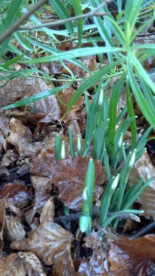 More Snowdrops Emerging Jan'13 (Galanthus nivalis)