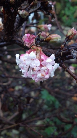 Daphne Mezereum Close Up Nov'12 (Daphne mezereum)