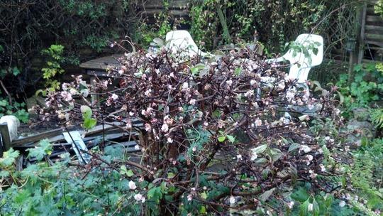 Daphne Mezereum Again Nov'12 (Daphne mezereum)