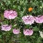 poppy shades of lavender