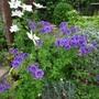 Cimg9670geranium_purple