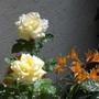 Rosa Peace ('Madame A. Meilland')