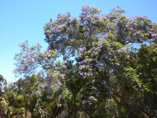 Jacaranda Tree in Bloom (Jacaranda mimosifolia)