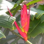 Heliconia lathispatha - Claw Flower