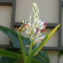 Alpinia species unknown (Alpinia)