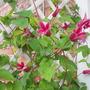 Clematis Princess of Wales (Clematis texensis (Scarlet Clematis))