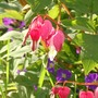 Dicentra [Bleeding Heart]