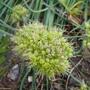 Allium_obliquum_2013