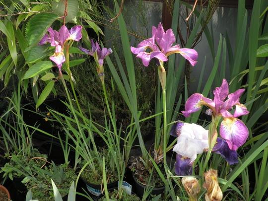 Irises as of June 25th