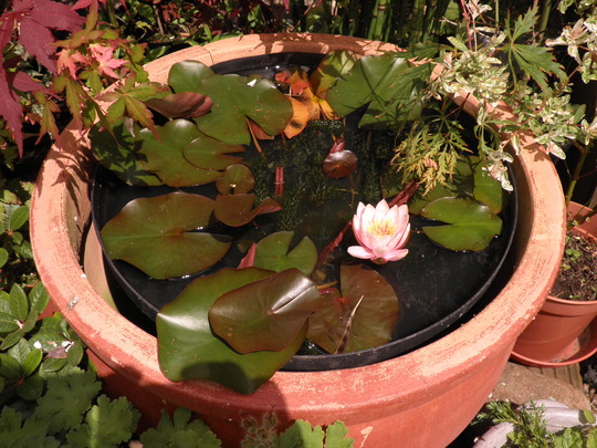 Water lily opens