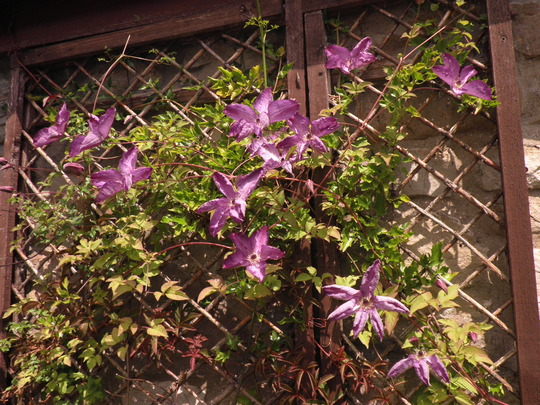 Venosa Violacea is doing well this year