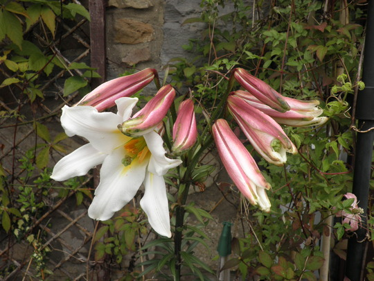 The long awaited £1 Lily mystery reveals itself