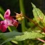 "Impatiens glandulifera ""Red Wine"" (Impatiens glandulifera (Himalayan Balsam))"